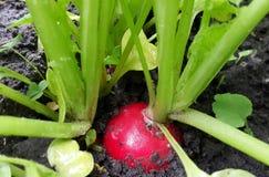 Rabanete vermelho fresco que cresce no solo Imagem de Stock