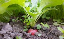 Rabanete vermelho fresco que cresce no solo no jardim Fotos de Stock Royalty Free