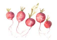 Rabanete vermelho no branco Imagem de Stock