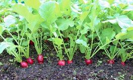 Rabanete vermelho oval maduro Imagens de Stock Royalty Free