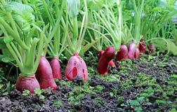 Rabanete vermelho oval maduro Fotos de Stock Royalty Free
