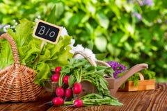 Rabanetes, colheita em maio Imagens de Stock
