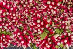 Rabanetes orgânicos frescos em um grupo Imagem de Stock
