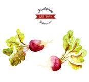 Rabanetes orgânicos, ilustração do vetor da aquarela Foto de Stock