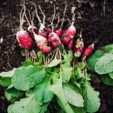 Rabanetes vermelhos e brancos Fotografia de Stock Royalty Free