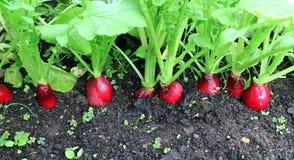 Rabanetes vermelhos ovais maduros Fotografia de Stock