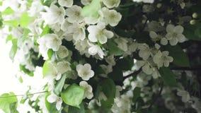 Κλείστε επάνω για το δέντρο rabapple στην πλήρη άνθιση στο πάρκο πόλεων r Όμορφα άσπρα λουλούδια ενός δέντρου μηλιάς φιλμ μικρού μήκους