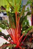Rabarbarowa roślina Obrazy Stock