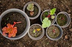 Rabarbarowe rośliny Fotografia Royalty Free