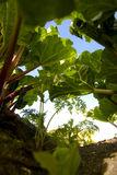 Rabarber in de tuin Stock Afbeeldingen