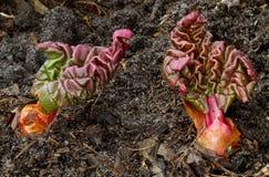 Rabarber die uit de grond vroeg in de lente te voorschijn komen Stock Afbeeldingen