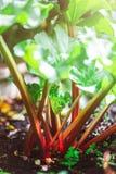 Rabarber het groeien in de tuin tijdens de lente royalty-vrije stock foto