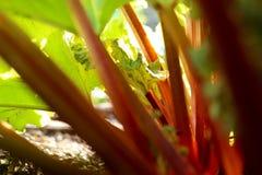 Rabarber i grönsaklappen Arkivfoton