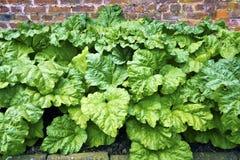 Rabarber som växer i en grönsakträdgård. Royaltyfri Bild