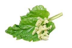 Rabarberbladeren en bloei op witte achtergrond worden geïsoleerd die Royalty-vrije Stock Foto's
