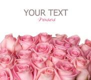 rabatowe róże Zdjęcie Stock