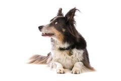 rabatowego collie pies zdjęcie royalty free