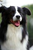 rabatowego collie pies fotografia stock