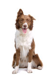rabatowego collie pies obraz stock