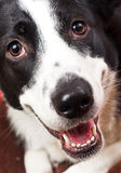 rabatowego collie pies Obrazy Stock