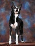 rabatowego collie portret Zdjęcia Stock