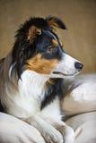 rabatowego collie portret zdjęcie stock