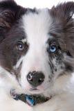 rabatowego collie psia głowa zdjęcie royalty free