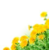 rabatowi dandelions Obraz Stock