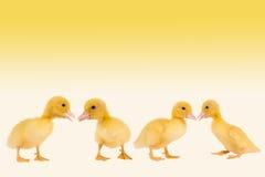 rabatowi kaczątka Easter Obrazy Royalty Free