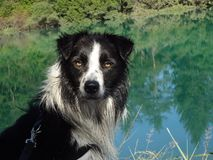 Rabatowy Collie obrazy stock