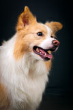 Rabatowy Collie Obraz Stock