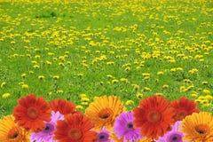 rabatowy kwiat Zdjęcie Stock