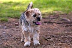 Rabatowy Terrier obrazy stock