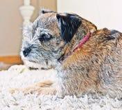 Rabatowy Terrier Zdjęcie Stock