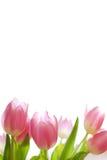 rabatowy tulipan Fotografia Stock
