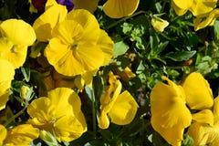 Rabatt av gula penséblommor i trädgården Bakgrund av att blomma ljusa penséblommor royaltyfri bild