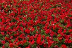 Rabatt av ljusa röda dekorativa blommor Arkivfoto
