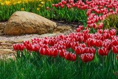 Rabatt med röda och gula tulpan Arkivbilder