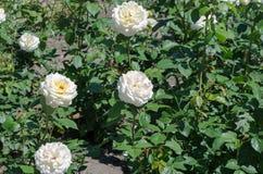 Rabatt med vita rosor blommar lawn arkivfoto