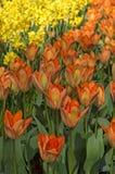 Rabatter av tulpan och påskliljor Arkivfoton