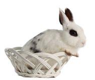 Rabbin in basket Stock Photo