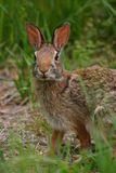 Rabbit. Eastern cottontail rabbit (Sylvilagus floridanus), Connetquot River State Park, Long Island, New York Stock Images