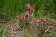 Rabbit. Eastern cottontail rabbit (Sylvilagus floridanus), Connetquot River State Park, Long Island, New York stock photos