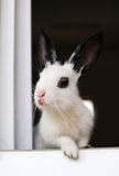 Rabbit. Only is my friend's pet rabbit, very cute Stock Photography