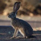 Rabbit. In the evening sun Stock Photo