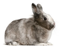 Rabbit, 11 months old, sitting Royalty Free Stock Image