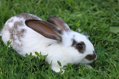 Rabbit. Look of rabbit on a green background Stock Photography