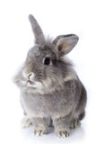 Rabbit. Young, Grey leon-head dwarf rabbit Stock Photos