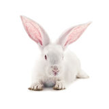 Rabbit. Isolated on white background Stock Image