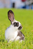 Rabbit royalty free stock photo